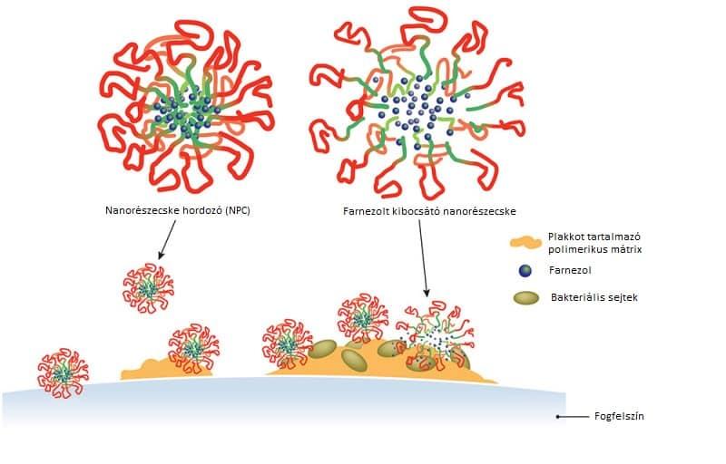 A farnezol célbajuttatása nanorészecske-hordozó segítségével. /Kép: Michael Osadciw, Rochester Egyetem/