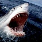 A cápák fogai tűélesek, több sorban helyezkednek el és folyamatosan újraképződnek. /Kép: Deadline.com/