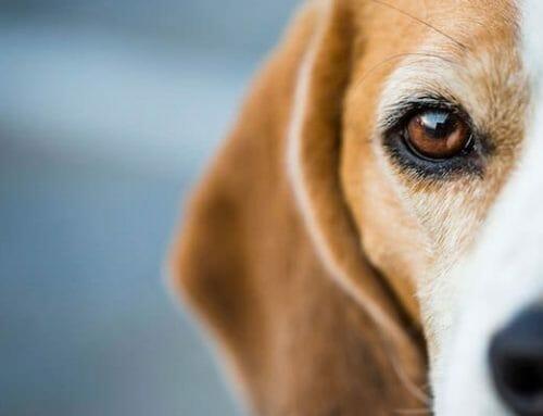 Kutya fogát növesztették újra őssejtből