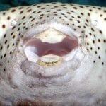 A gömbhalfélék és az emberek fogai közös őstől erednek